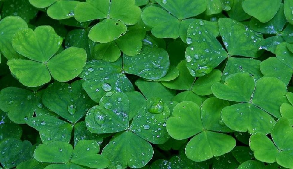 Clover Shamrock St Patricks Day